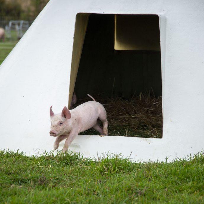 cochon-theligny.jpg