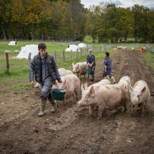 cochons-fleury-michon-champs.jpg