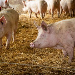 cochons-fleury-michon.jpg