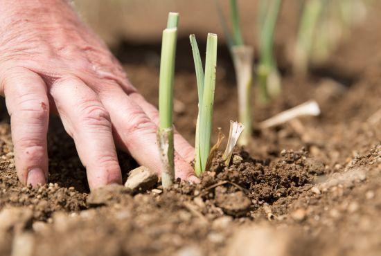 main dans la terre d'un champ de poireaux