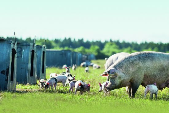 cochons danemark fleury michon