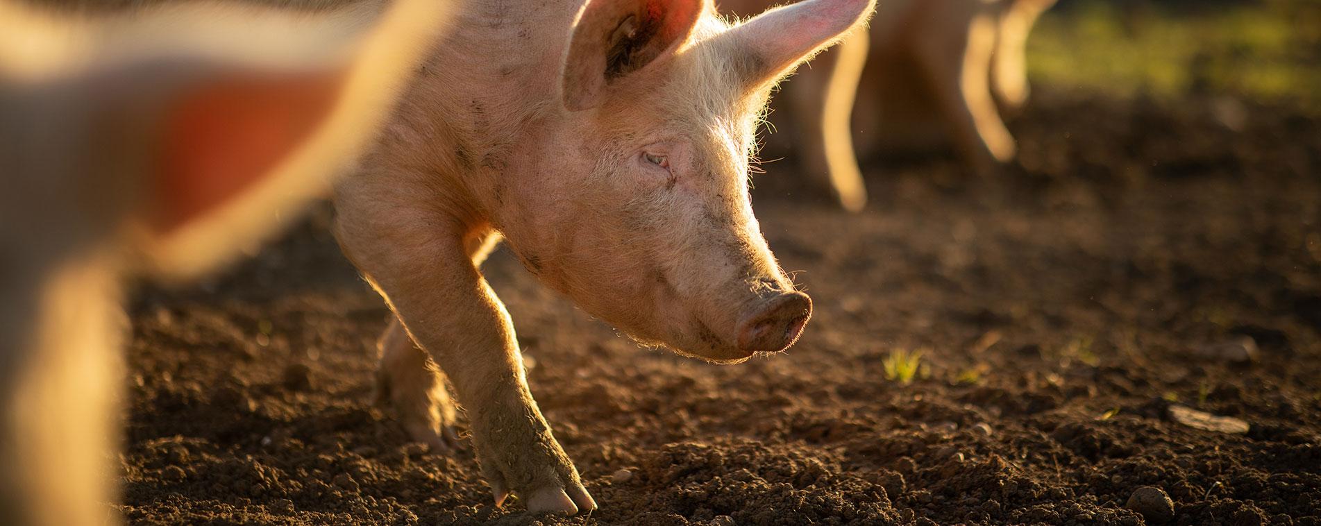 filiere porc fleury michon